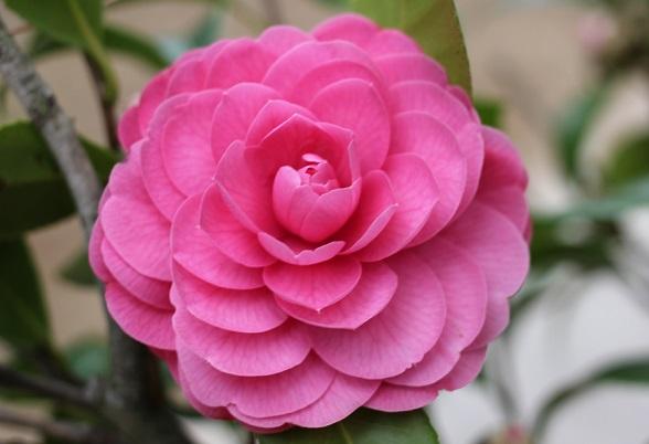 白石記念椿園、濃いピンク 八重咲のきれいな椿のアップ写真