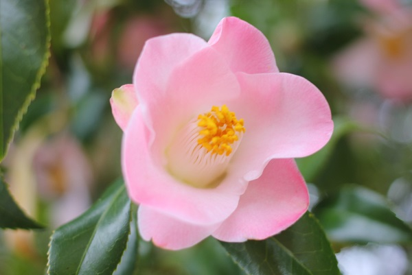 白石記念椿園、薄いピンクの上品な椿のアップ写真
