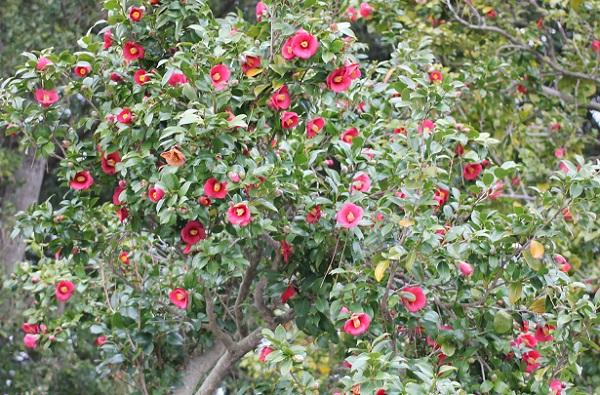 白石記念椿園、ヤブツバキがたわわに咲いてる様子の写真