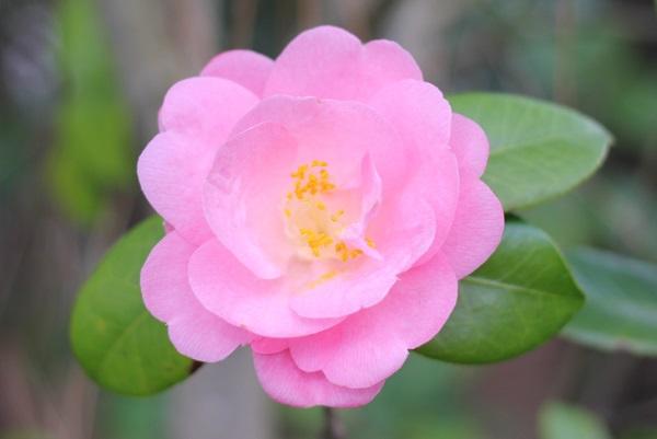 白石記念椿園、ピンクの八重咲の椿のアップ写真