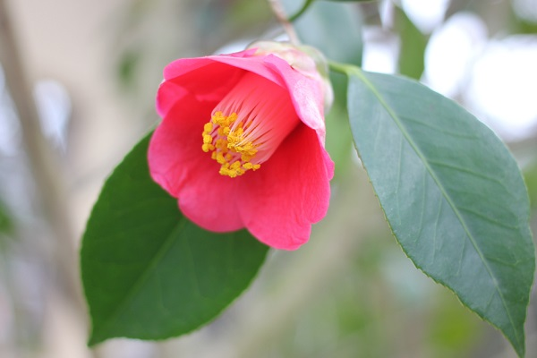 白石記念椿園、下を向いた美しい赤い椿のアップ写真