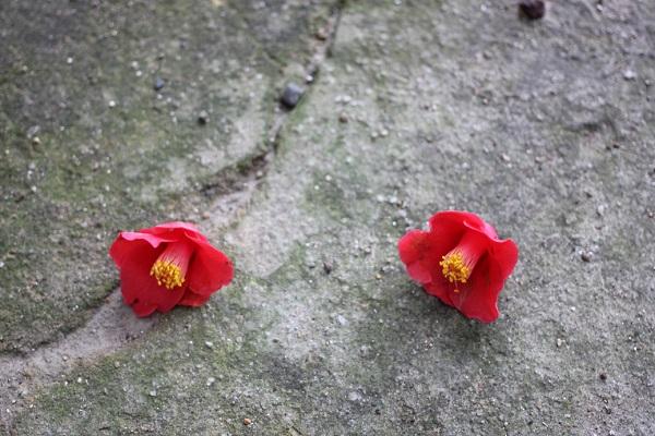地面にポトリと落ちた椿の花2つの写真