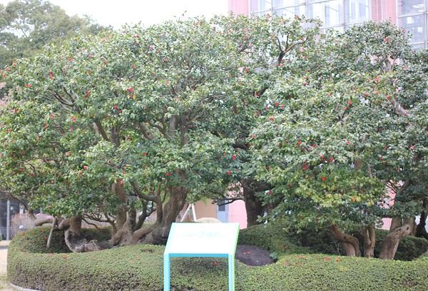 咲き誇る太閤椿、全体の写真