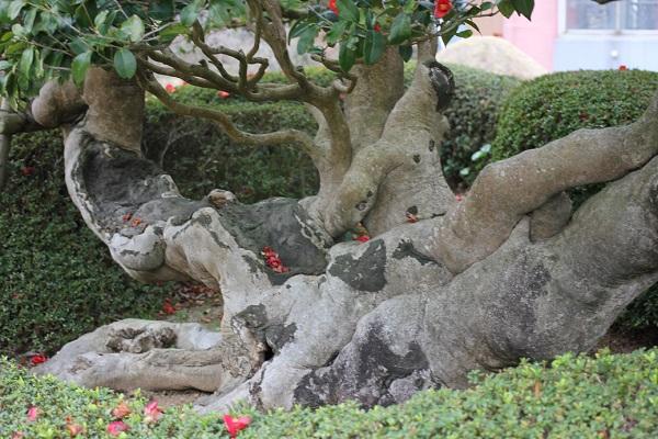 太閤椿の太い根本の様子と落ちた椿の花の写真