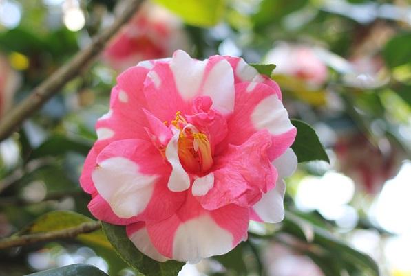 「世界のつばき館」のピンクと白が混じった大輪のきれいな椿の写真