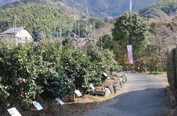 つばきの小径、椿並木と小道の写真