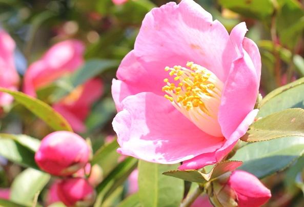 「久留米つばき園」、綺麗に咲いてるピンクの椿のアップ写真
