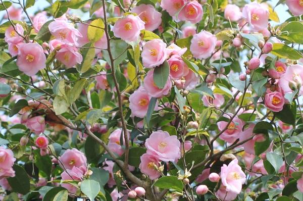 「久留米つばき園」、優しいピンク色の椿がたくさん咲いてる写真