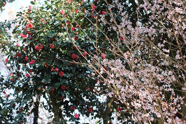 「久留米つばき園」、赤い椿とピンクの桜のコラボ写真