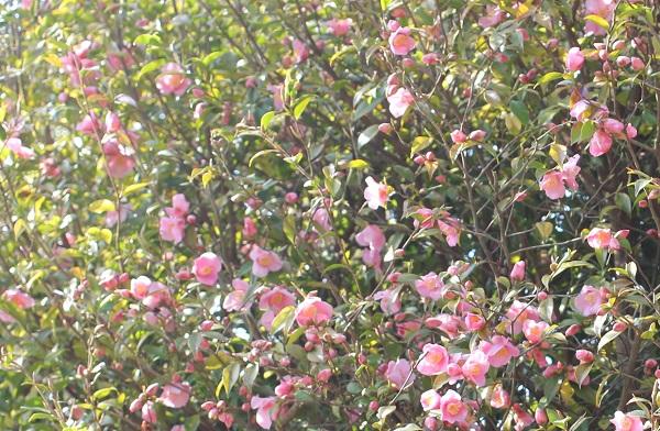 「久留米つばき園」、ピンクの小さい椿がたくさん咲いてる様子の写真