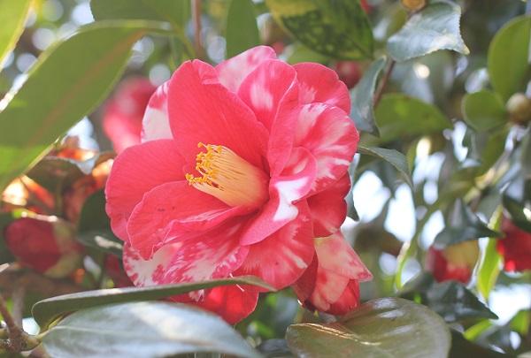 つばきの小径に咲く大輪の椿のアップ写真