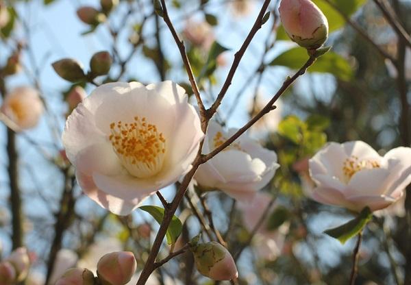 「久留米つばき園」、薄いピンクの可憐な椿のアップ写真