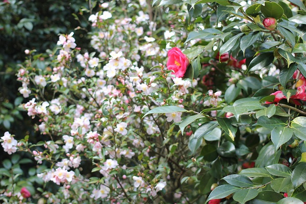 「久留米つばき園」、小さな白い花を付ける椿と赤い椿の写真