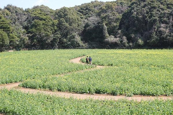 展海峰の菜の花畑の写真(少し高台から)