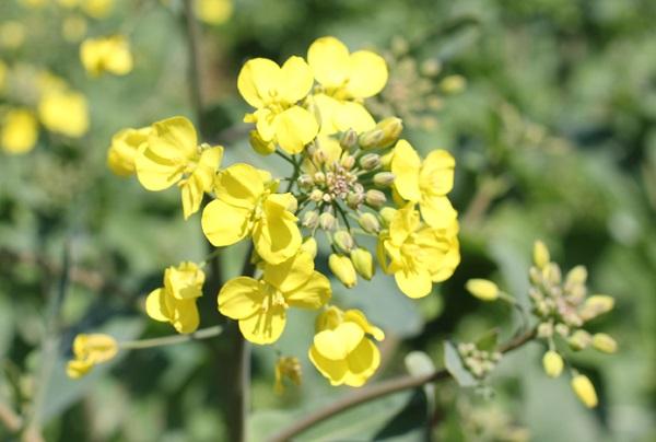展海峰の菜の花、近くから見た写真