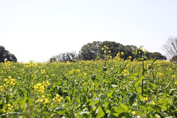 展海峰の菜の花畑、違う角度からの写真