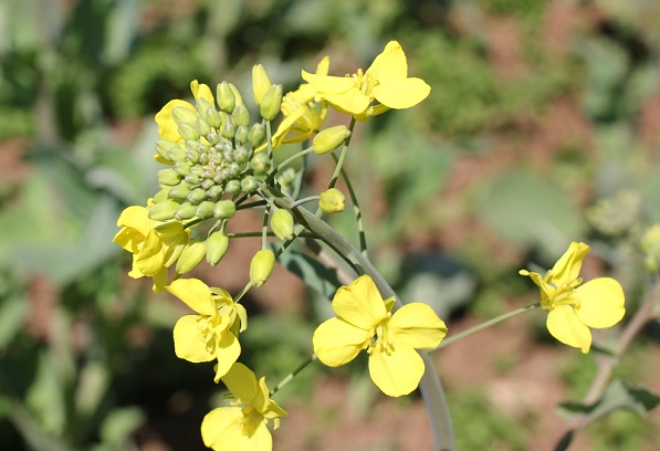 展海峰の菜の花、蕾がたくさんついてる花の写真