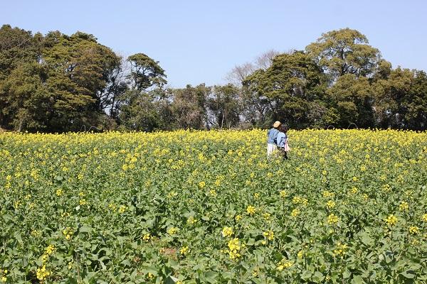 展海峰の菜の花畑の写真(菜の花畑を歩いてるお花見の人も)