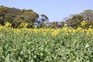 展海峰の菜の花畑の写真4