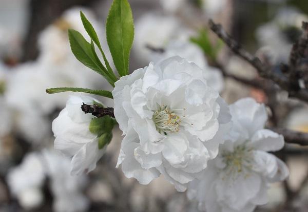 花桃のアップ写真