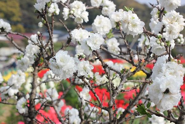 チューリップ花壇のすみに咲くの白の花桃の写真