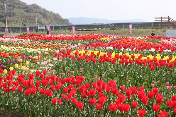 香焼チューリップまつりの会場、色とりどりのチューリップ花壇の写真