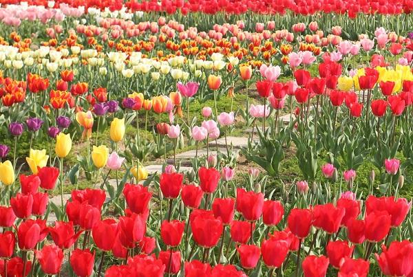 香焼、チューリップのお花畑の写真