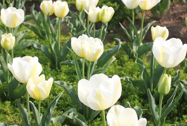 香焼、白のチューリップが咲いている写真