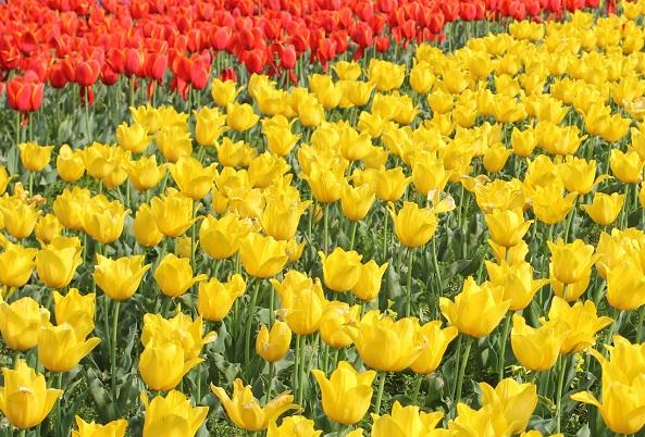 香焼、黄色のチューリップのお花畑の写真