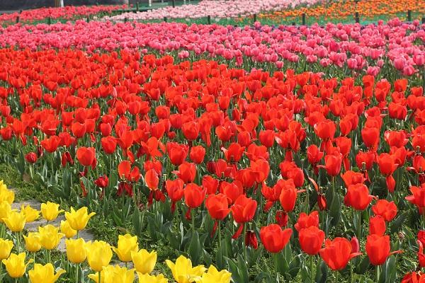 香焼、グラデーションになっているチューリップのお花畑の写真