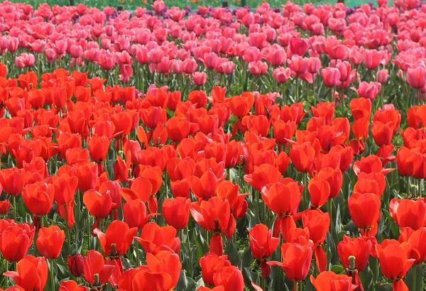 香焼、赤とピンクのチューリップのお花畑の写真
