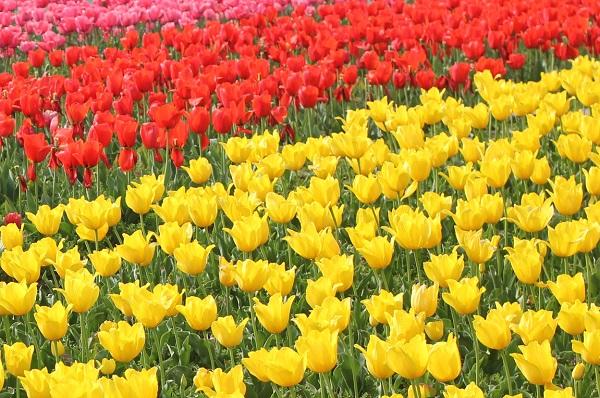 香焼チューリップまつりの赤と黄色のチューリップ花壇の写真