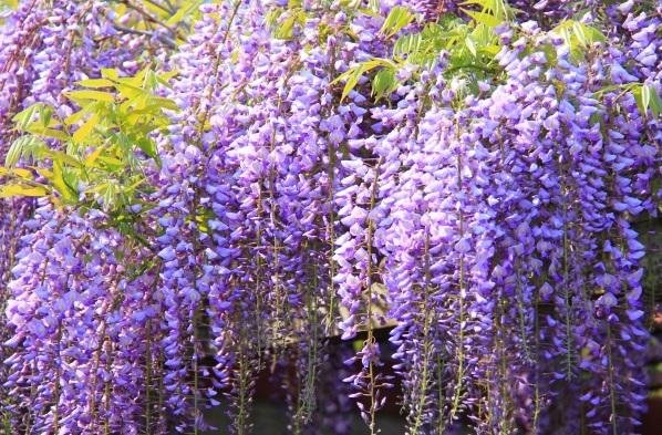 満開の藤の花の写真