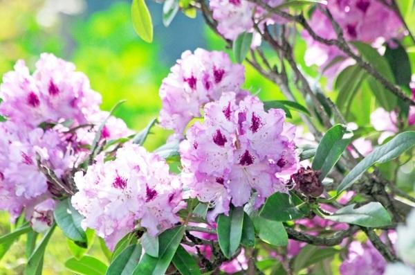 開花したシピンクのシャクナゲの写真