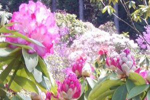 佐賀県 北山シャクナゲ園の石楠花とツツジの写真