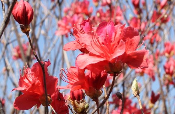 高取山の赤いミツバツツジの写真