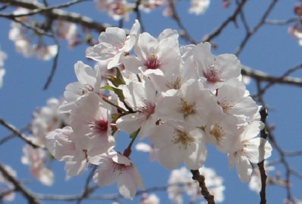 西都原の桜のアップ写真