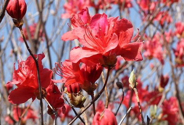 高取山の赤いミツバツツジのアップ写真