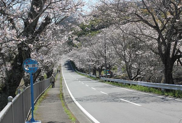 古川の桜並木と古川のバス停の写真