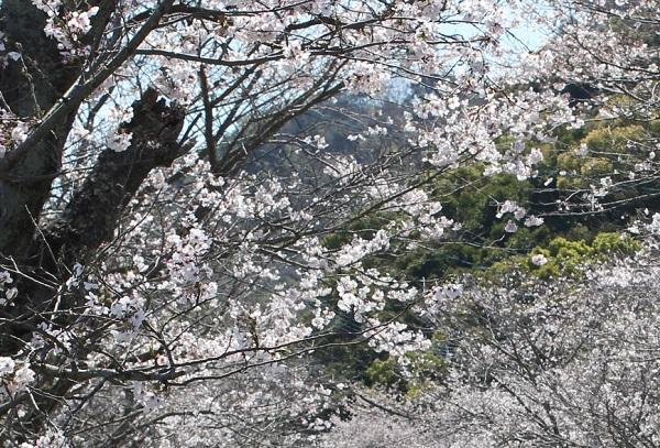 古川の桜並木、古木の桜の写真