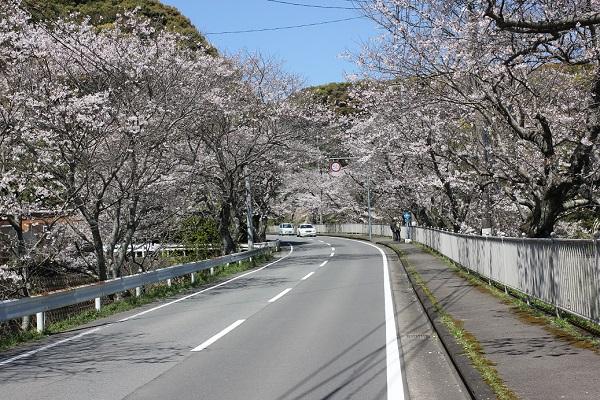 道路から写した古川の桜並木の写真