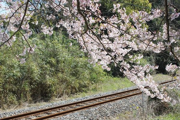 線路とソメイヨシノの写真