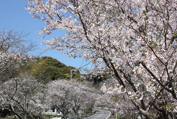 満開のソメイヨシノと古川の桜並木の写真