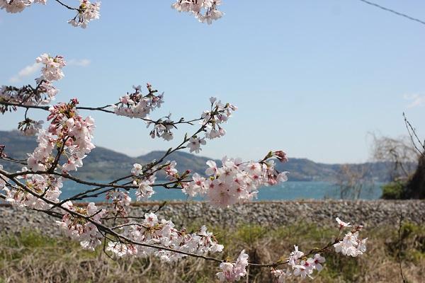 大村湾と線路、ソメイヨシノの写真