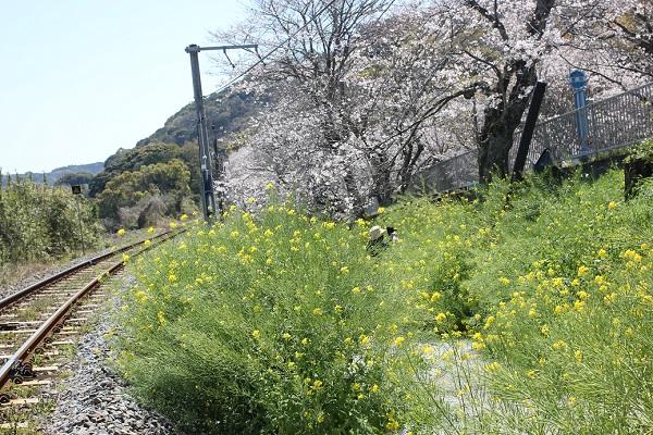 古川、線路と菜の花、桜の写真