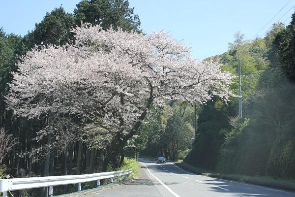 諫早へ向かう道、国道沿いの桜の写真