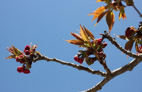 大村公園、オオムラサクラのつぼみのアップ写真