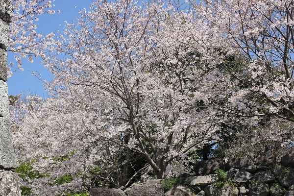 城跡の石垣の上に咲くソメイヨシノの写真