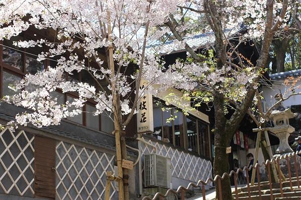 梅ヶ枝荘、桜、階段の写真