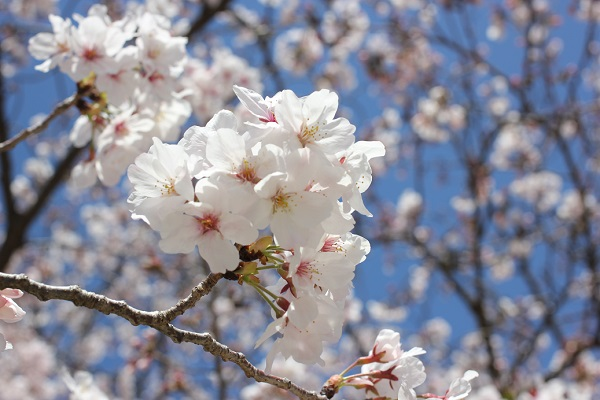 大村公園の満開のソメイヨシノのアップ写真